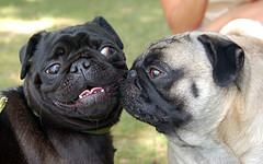 2 Pugs sniffing Palm User Groups and dogs
